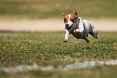 Energetic Jack Russell Terrier Dog Runs on the Grass Field. poster