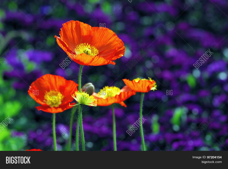 Blooming Orange Image Photo Free Trial Bigstock