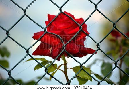 Red rose imprisoned