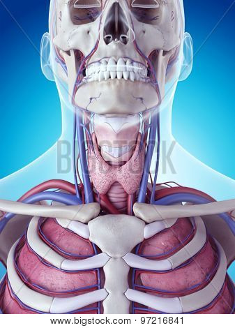 medically accurate illustration of the thyroid gland