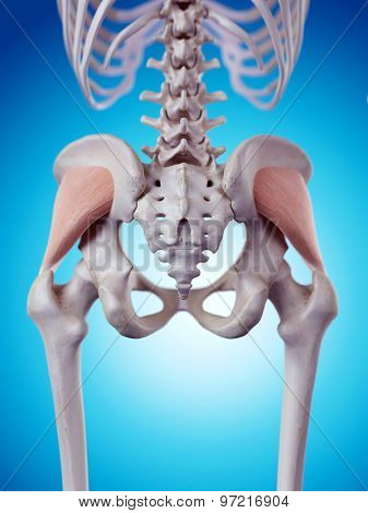 medically accurate illustration of the gluteus minimus