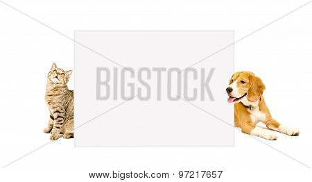 Cat Scottish Straight and beagle dog peeking from behind poster