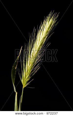Barley Grass Macro