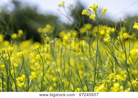 Rapeseed Growing In Field