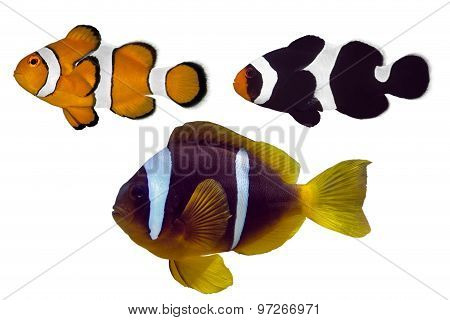 Set of Nemo - Clown fish , anemone fish isolated on white background