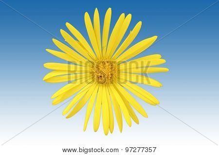 Isolated Ox-eye flower