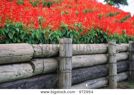 Red Salvia And Wooden Fence