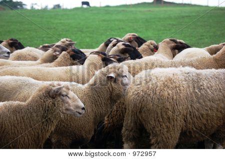 Sheeps At Farm