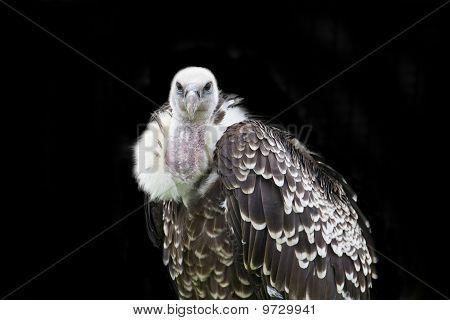 Mr Vulture