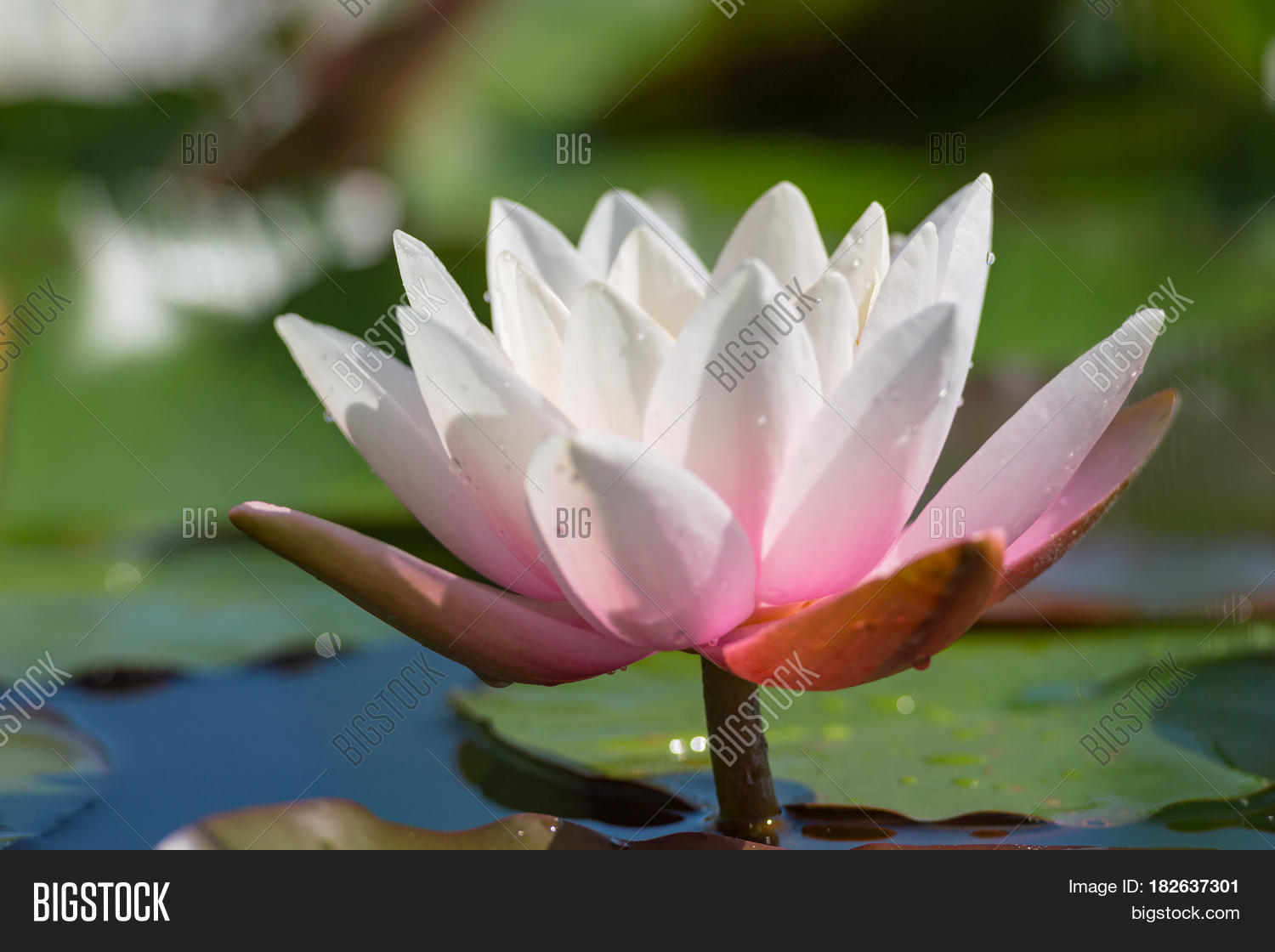 Pink White Lotus Image Photo Free Trial Bigstock