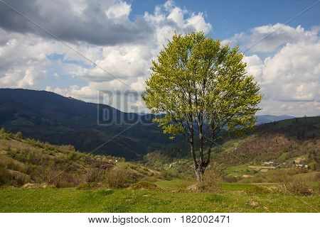 Tree in the background of mountains in a rural landscape. Carpathians
