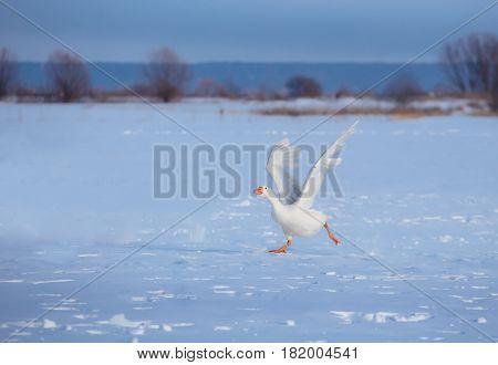 white goose run through the snow with their wings open