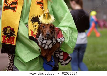 ST. PETERSBURG, RUSSIA - MAY 28, 2016: Dog in costume  during Dachshund parade. The traditional festival is timed to the City day