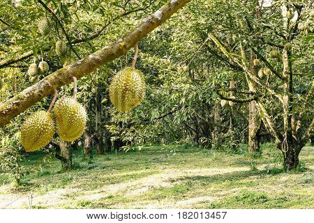 Fresh Mon Thong Or Golden Pillow Durian, King Of Tropical Fruit, On Its Tree Branch In The Orchard