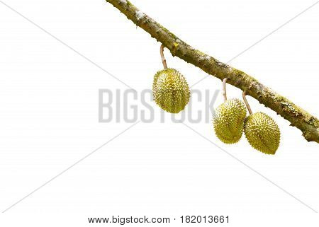 Isolated Mon Thong Or Golden Pillow Durain On Branch, King Of Tropical Fruit