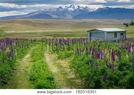 Farm House In Lupine Field Near Lake Tekapo