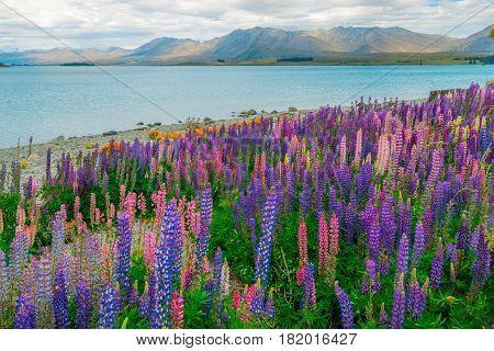 Landscape At Lake Tekapo Lupin Field In New Zealand