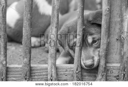 Closeup puppy in wood cage background in black and white tone