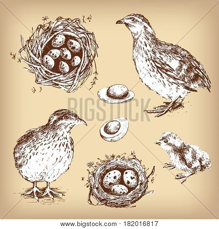 Set of vector graphic illustrations of quail, chick, eggs and nest of quail. Hand drawn engraving style. Vintage design.
