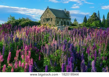 Church of the Good Shepherd and Lupine field at lake Tekapo New Zealand. Summer in New Zealand. Lake Tekapo landmark. New Zealand landscape.