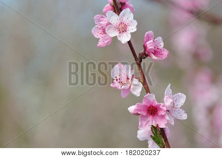 Closeup Pink Peach Blossom on Blurred Nature Background