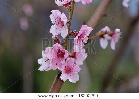Pink Peach Blossom Closeup on Blurred Garden Background