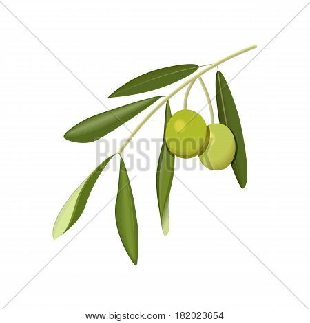 Olive branch with green olives isolated. Side view. Close up. vector illustration. For cosmetics, spa, health care, perfumery, cooking, aromatherapy, Herbal medicine, skin care ointments labels tags