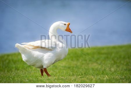 White Chinese Goose also known as Swan Goose (Anser cygnoides) strolling through green grass by lake