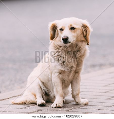 White Medium Size Mixed Breed Homeless Dog Sit Outdoor On Street