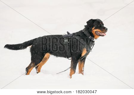 Black Rottweiler Metzgerhund Dog During Training. Winter Season.