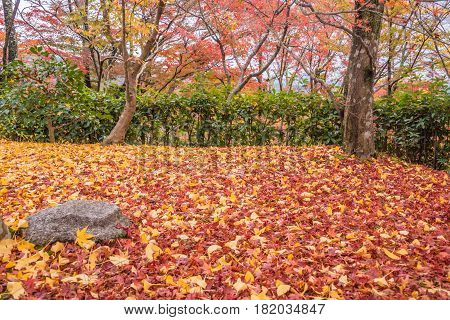 maple and ginko leaves on the ground