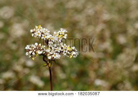 Macro photo of flower buckwheat with selective focus. Buckwheat plant. Buckwheat flowers as natural background with copy space. Buckwheat blossom