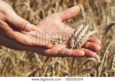 closeup of male hands holding ripe wheat ears and grains in the field. Farmer inspecting crop of bread. Harvest. Agriculture concept