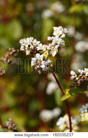 flowers of buckwheat with selective focus. Buckwheat blooming plants. Natural background. Field of buckwheat closeup