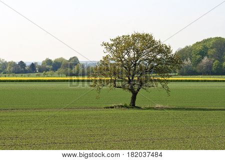 Lonely tree in the field at spring