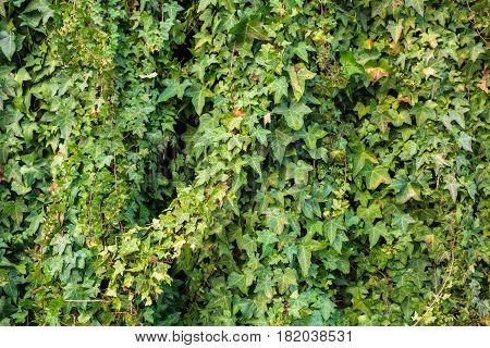 Old stone wall overgrown with green ivy