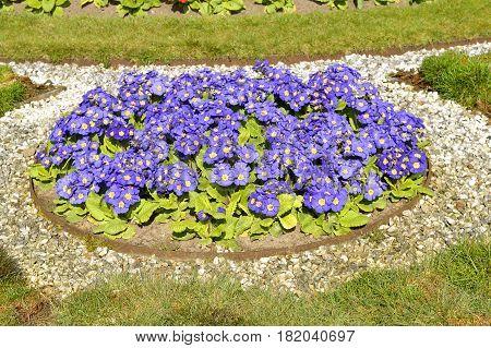 A flower bed of Primula Crescendo Blue Shades
