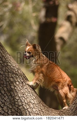 a small Chihuahua dog stands in the fork of a tree