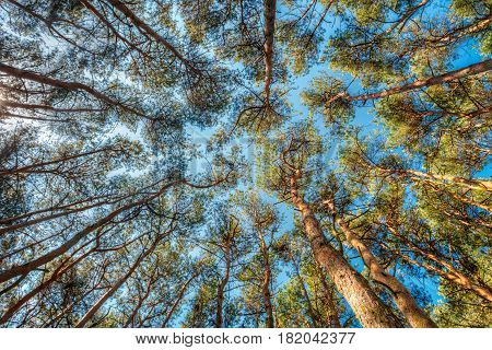 Canopy Of Tall Pine Trees. Upper Branches Of Woods In Coniferous Forest. Low Angle View. Summer Pinewood, Bottom Wide Angle View Of Tall Thin Evergreen Pines, Blue Sky Background. Russian Nature