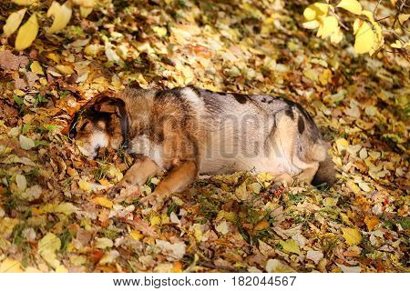 Beautiful big dog sleeps in the yellow leaves