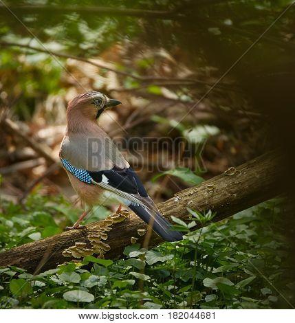 Eurasian Jay On The Ground