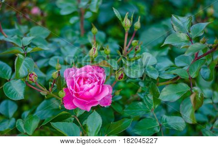 Magenta flower on green background in summer sunset