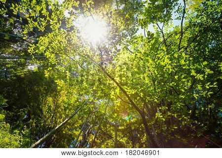 Spring Sun Shining Through Canopy Of Tall Trees. Sunlight In Tropical Forest, Summer Nature. Upper Branches Of Different Deciduous Trees Summer Background. Nobody. Environment Concept.