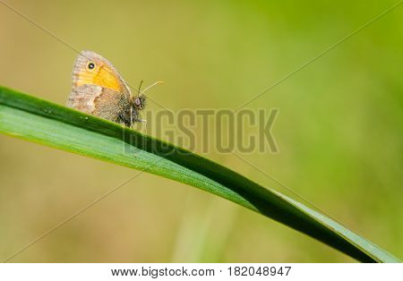 Small heath Coenonympha pamphilus on a branch