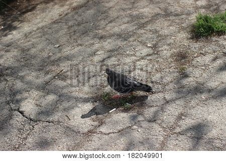 City pigeon in the park on the asphalt in the shadows and cracks.
