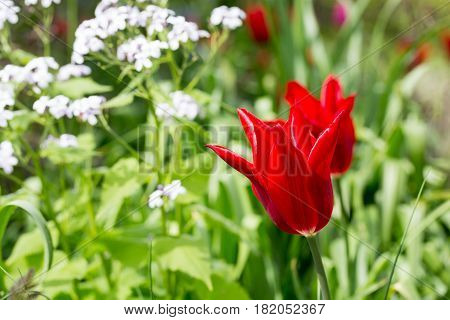 Bright Red Scalloped Tulips growing in a lush flower bed with white verbena in the background