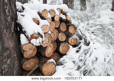 Pine logs in winter forest. Wooden trunks background. Wood texture of cut tree trunk. Cut tree trunk with annual rings. Wood background or texture for designers.
