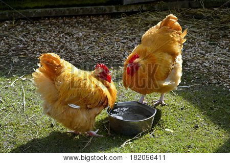 Free range chickens Latin name Gallus gallus domesticus