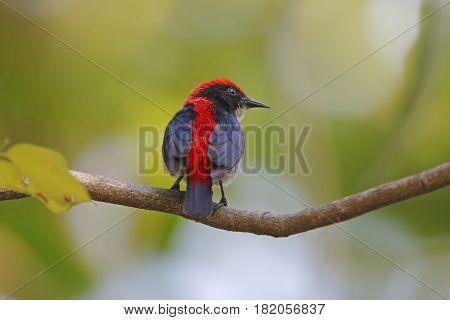 Scarlet-backed Flowerpecker Dicaeum cruentatum Male Cute Birds of Thailand
