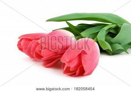 Three beautiful pink tulips isolated on white background